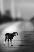 Dog Photo Prints - Looking Back Print by Christopher Elwell and Amanda Haselock