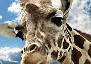 Giraffe Photos - Looking Down by Kathy Jennings