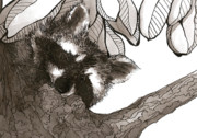 Raccoon Drawings - Looking down by Meagan  Visser