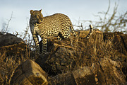 Leopard Prints - Looking for Breakfast Print by Michele Burgess