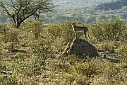 Cheetah Photos - Looking for Dinner by Michele Burgess