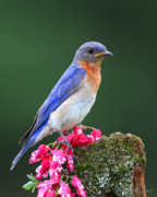 Bluebird Metal Prints - Looking For The Next Meal Metal Print by Gerry Sibell