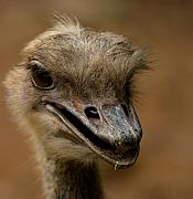Ostrich Photo Framed Prints - Looking for Trouble Framed Print by Wenata Babkowski