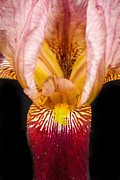 Flower Bulbs Prints - Looking Inside Print by Robert Bales