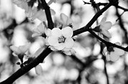 Peach And White Prints - Looking through the Blossoms - Black and White Print by Kaye Menner