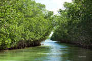 Mangroves Prints - Looking Through the Mangroves in Islamorada Print by Michelle Wiarda