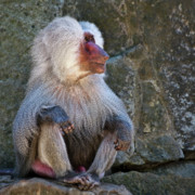 Primates Photos - Looking to the left by Heiko Koehrer-Wagner