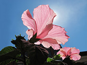 The Heavens Framed Prints - Looking Towards the Heavens - Pink Hibiscus Flower under a Blue Sky on a Sunny Day  Framed Print by Chantal PhotoPix