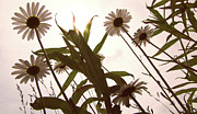 Daisy Metal Prints - Looking Up Metal Print by Amy Tyler