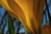 Yellow Crocus Posters - Looking up at a Yellow Crocus Poster by ShaddowCat Arts - Sherry
