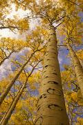 Kachina Posters - Looking Up At Towering Aspen Trees Poster by Ralph Lee Hopkins