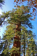 Sequoia Tree Prints - Looking Up Print by Heidi Smith