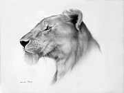 Lioness Drawings Posters - Lookout Poster by Lucinda Coldrey