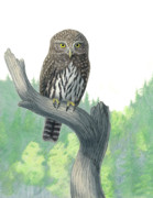 Habitat Drawings Posters - Lookout- Northern Pygmy-Owl Poster by Kalen Malueg
