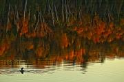 Loon Metal Prints - Loon In Opeongo Lake With Reflection Metal Print by Robert Postma