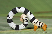 Animals And Insects Photos - Looper Moth Caterpillar Atewa Range by Piotr Naskrecki