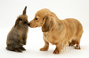 Puppies Framed Prints - Lop Rabbit And Dachshund Puppy Framed Print by Jane Burton