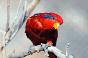 Lorikeet Photos - Lorikeet 1 by Diana Douglass