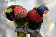 Bridget Finn - Lorikeet Love