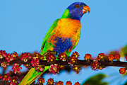 Tree Creature Prints - Lorikeet on umbrella tree Print by John Buxton