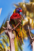 Lorikeet Photos - Lorikeet Perched Up High by Eddie Yerkish