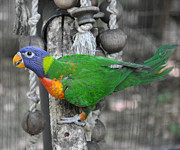 Parakeet Photos - Lorikeet Playtime by Jan Amiss Photography