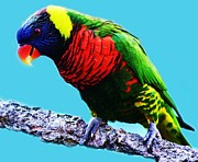 Lory Bird Print by Paulette  Thomas
