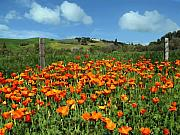 Wine Country Digital Art Prints - Los Olivos Poppies Print by Kurt Van Wagner