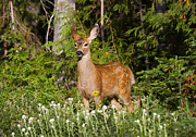 Deer Photo Originals - Losing the Spots by Mike  Dawson