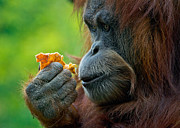 Orangutan Photos - Lost in Mango Daydreams by Carl Jackson