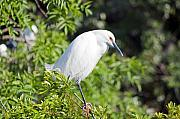 Snowy Egret Originals - Lost in Thought by Kenneth Albin