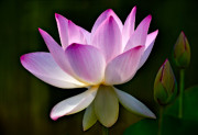 Lotus Bud Prints - Lotus and Buds Print by Susan Candelario