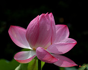Nature Study Photo Prints - Lotus Beauty--Beauty in Disarray DL027 Print by Gerry Gantt