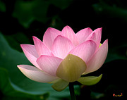 Nature Study Posters - Lotus Beauty--Blushing DL003 Poster by Gerry Gantt