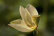 Graceful Lotus Prints - Lotus Bloom Print by Joye Ardyn Durham