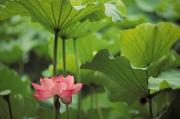 Rita Ariyoshi Prints - Lotus Blossom Print by Rita Ariyoshi - Printscapes