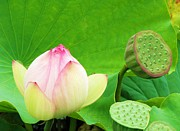Lotus Seed Pod Prints - Lotus Blossom to Pod Print by Michele Penner