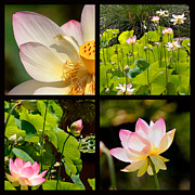 Lotus Blossoms Framed Prints - Lotus Blossoms Framed Print by Art Block Collections