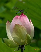 Nature Study Photo Prints - Lotus Bud and Blue Dasher Dragonfly--Supporting Role DL019 Print by Gerry Gantt