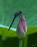 Nature Study Photo Prints - Lotus Bud and Slatey Skimmer Dragonfly DL072 Print by Gerry Gantt