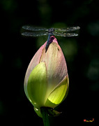 Nature Study Photo Prints - Lotus Bud and Slatey Skimmer Dragonfly DL076 Print by Gerry Gantt