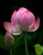 Nature Study Photo Prints - Lotus Bud--Generations i DL015 Print by Gerry Gantt