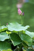 Lotus Bud Prints - Lotus Buds Print by Christiane Schulze