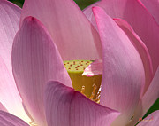 Nature Study Photo Prints - Lotus--Center of Being i DL022 Print by Gerry Gantt