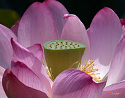 Nature Study Photo Prints - Lotus--Center of Being iv DL071 Print by Gerry Gantt