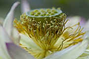Water Lilly Photos - Lotus detail by Heiko Koehrer-Wagner