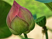 Lotus Bud Framed Prints - Lotus dreaming 3 Framed Print by Fran Woods