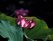 Nature Study Photo Prints - Lotus--Echoes of Light 24H Print by Gerry Gantt