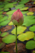 Stalk Originals - Lotus flower bud by Phalakon Jaisangat