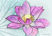 Floral Photos Drawings Prints - Lotus Flower Print by Debra     Vatalaro
